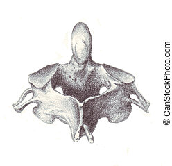 human anatomy - cervical vertebra - a sketch in black and...
