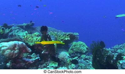Trumpetfish, Yellow phase, Aulostomus chinensis, Papua New...