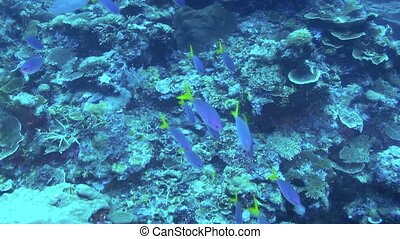 Fusilier - Blue and Yellow Fusilier, Caesio teres, Papua New...
