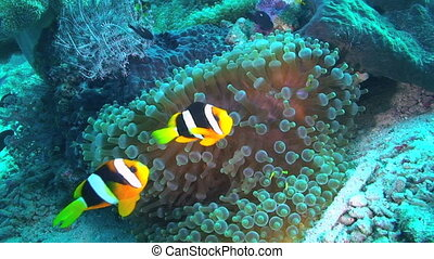 Anemonefish and Sea Anemone - Clarkes anemonefish,...