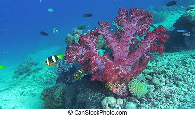 Anemonefish and Soft Coral - Clarkes anemonefish, Amphiprion...