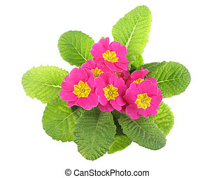 Pink primrose, above view, isolated on white