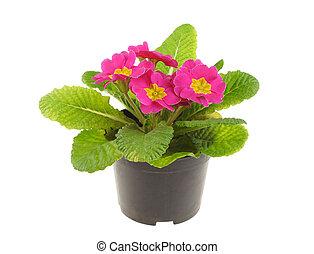 plant, rose, primevère, isolé, blanc