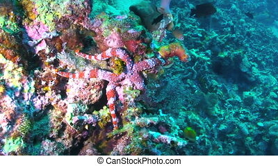 Sea Star - Nardoa frianti, Sea star, Papua New Guinea, Milne...