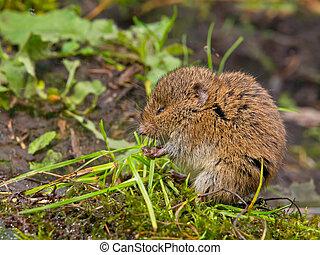 Vield vole (Microtus agrestis)  eating