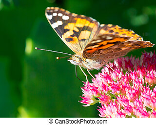 Painted lady (Vanessa cardui) sitting on sedum in the sun