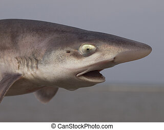 common smooth-hound (mustelus mustelus) portrait