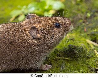 Vield vole (Microtus agrestis) close up