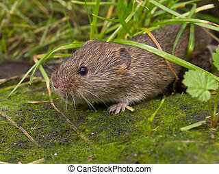 Vield vole Microtus agrestis under grass