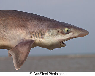 common smooth-hound (mustelus mustelus) shark sideview