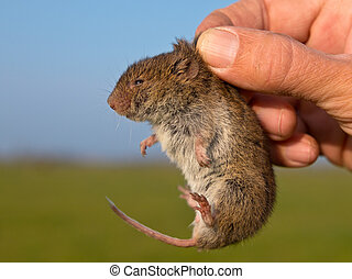 Vield vole Microtus agrestis kept in hand by researcher