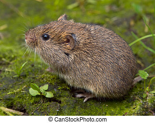 Vield vole Microtus agrestis sitting