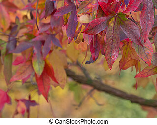 Brightly colored autumnal maple leaves in shallow depth