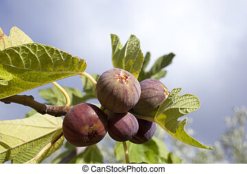 Figs - Biological figs on a branch