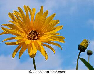 Autumn blooming sunflower against blue sky