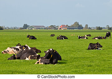 Resting cows in dutch agricultural landscape
