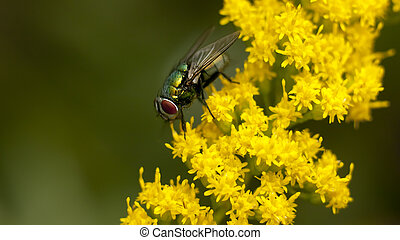 Green Fly on Yellow Flowers - Green fly landed on small...