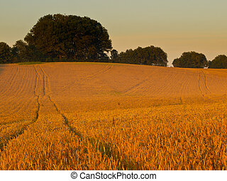 Field of grain during sunrise