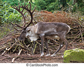 Male reindeer with large antlers in natural habitat