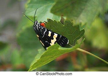 Australian Grapevine Moth - Australian grapevine moth on...