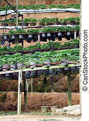Strawberry pots in the Strawberry Farm