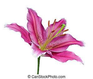 rosa, Lirio, flor, verde, palo, aislado