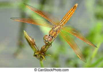 golden dragonfly close up