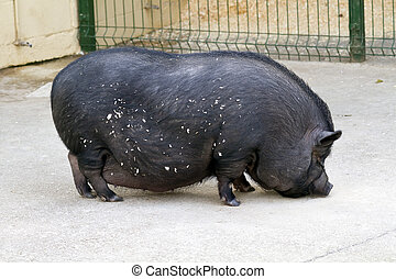 black pig farm - A Vietnamese pot bellied pig