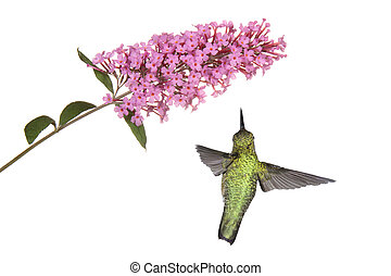 hummingbird floats under a butterfly bush - hummingbird...