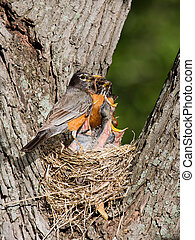 dinner arrives for baby robins