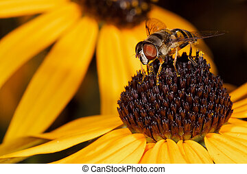 honey bee and two black eyed susans - honey bee feeds on the...