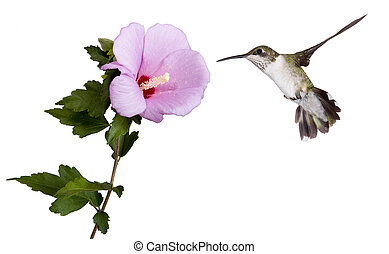 hummingbird and a rose of sharon - hummingbird floats into a...