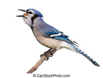bluejay swallows a whole nut in one gulp - bluejay feasts on...
