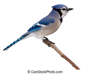 bluejay scans its surroundings - profile of a bluejay as it...
