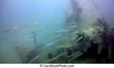 shipwreck - A shipwreck with a school of barracuda swimming...