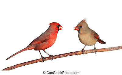 two cardinals with a whole safflower seeds in their beak -...