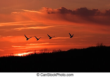 sunset departure - four geese flying homeward during sunset