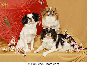 Japanes Chin Trio - A trio of Japanese Chin dogs pose with...