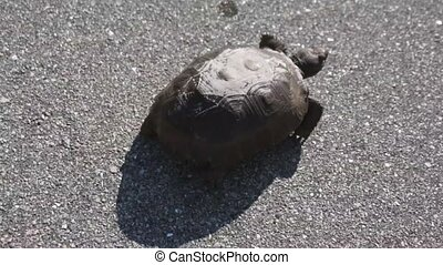 Gopher Tortoise Crossing Street - A young Gopher Tortoise is...