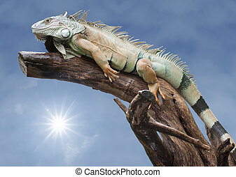 Green iguana sleep on the wood with isolate background