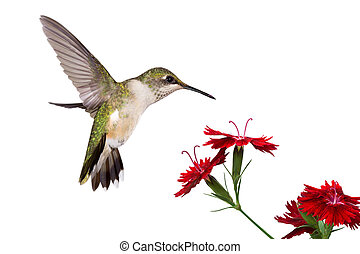 hummingbird and three dianthus - hummingbird spreads her...