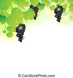 Grapes in Grapvine - illustration of bunch grape hanging...