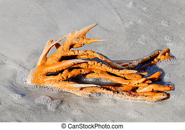 Orange Sprawling Sponge Covered in Sea Foam - A bright...