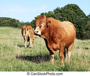 Large Limousin Bull - A large reddish brown Limousin beef...