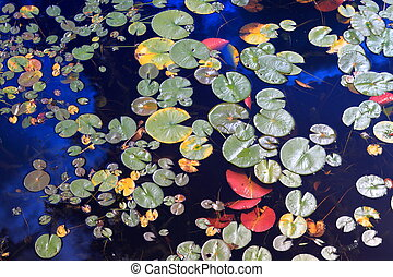 Water lily leaves - Close-up of water lily leaves in a...