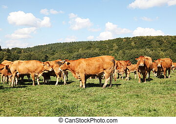 Limousin Beef Herd Cows And Calves - A herd of reddish brown...