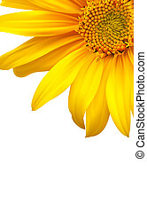Flower backgound. Sunflower vector art