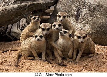 Meerkat - The group of Meerkat on the sand