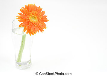 Orange gerbera daisy in the glass isolated on white...