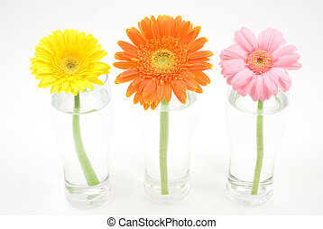 Gerbera daisy in the glass isolated on white background